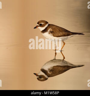 Semipalmated Plover (Charadrius semipalmatus) in late afternoon light wading in a shallow pond - Estero Island, - Stock Photo