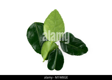 Fresh organic lime leaf isolated in white background - Stock Photo