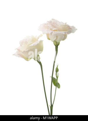 Two  pale pink flowers isolated on white. eustoma - Stock Photo