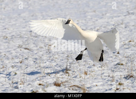 Trumpeter swan landing, Courtenay, Vancouver Island, British Columbia, Canada. - Stock Photo