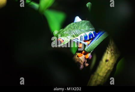 red-eye frog Agalychnis callidryas in Costa Rica, Central America - Stock Photo
