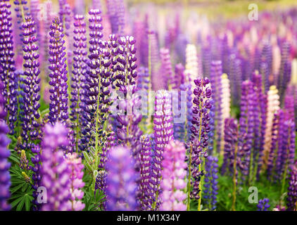 Field of wild lupins in New Zealand, closeup - Stock Photo