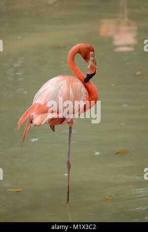 American Flamingo is standing on one leg in pond - Stock Photo