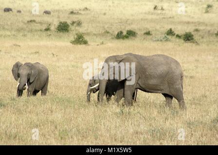 African elephant (Loxodonta africana) kenya safari wildlife nature - Stock Photo