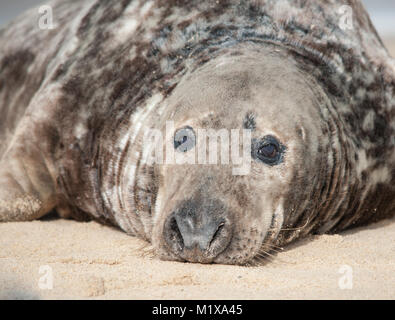 Grey seals (Halichoerus grypus) take time out to relax and chill on the beach - Stock Photo