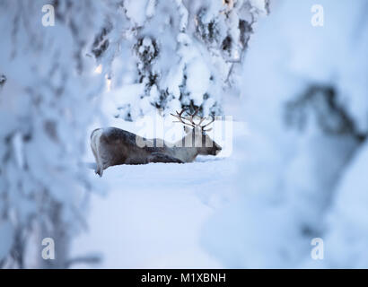 Reindeer male with a younger one digging in the snow for food - Stock Photo