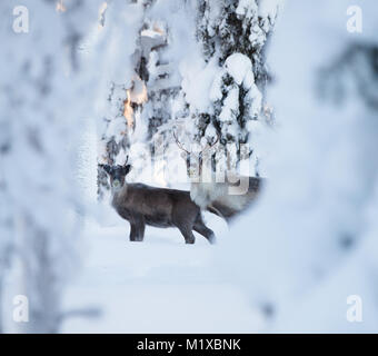 Reindeers in an arctic snowy forest - Stock Photo