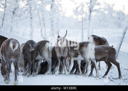 Feeding a reindeer flock during winter in Swedish Lapland - Stock Photo