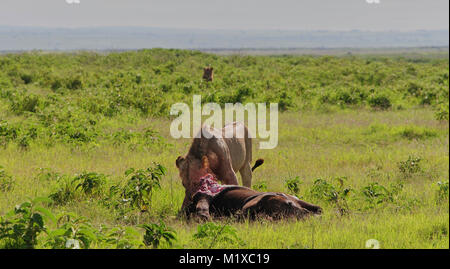 Young male Lion (Panthera leo) feasting on young African Elephant (Loxodonta africana) calf which it recently killed. - Stock Photo