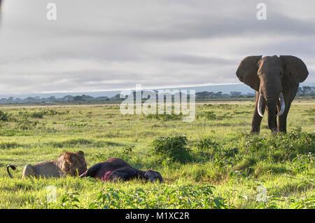 Bull Elephant approaches two lions feeding on elephant calf they killed.Amboseli Kenya - Stock Photo