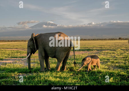 Young African Elephant (Loxoxdonta africana) calf with allomother in front of Kilimanjaro. Amboseli. Kenya. - Stock Photo