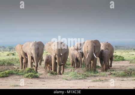 Herd of anxious African Elephants (Loxodonta africana) approach, sniffing the air. Amboseli. Kenya. - Stock Photo