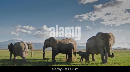 Herd of African Elephants (Loxodonta africana) with young calf in front of Kilimanjaro. Amboseli. Africa. - Stock Photo