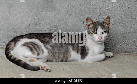 Grey with white belly  domestic cat, green eyes, lying, close up. - Stock Photo