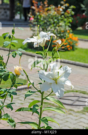 White branch Lilium flowers, green leafs close up. - Stock Photo