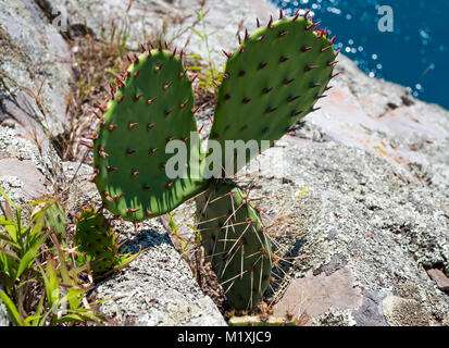 Prickly pear bush growing on a rock by the sea shore - Stock Photo