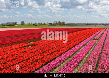 Tulip fields in Holland on a sunny day in spring. The beautiful rows with flowers are in full bloom with red and - Stock Photo