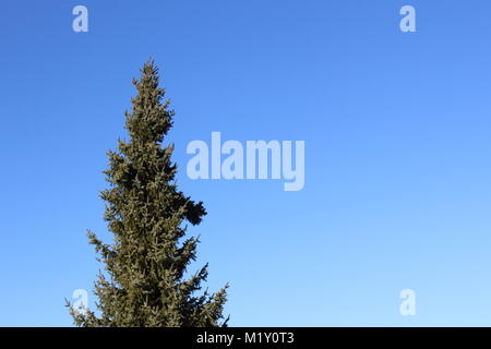 blue spruce (Picea pungens) against the blue sky with copy space, can be used as a background - Stock Photo