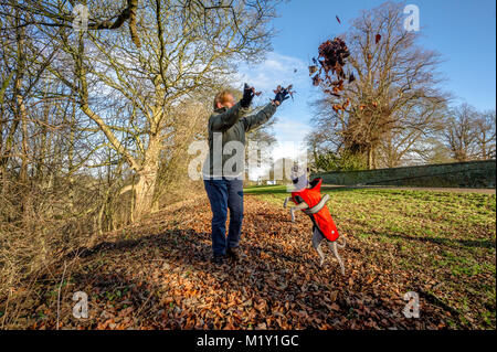 Woman throwing autumn leaves for a Whippet puppy to catch. - Stock Photo
