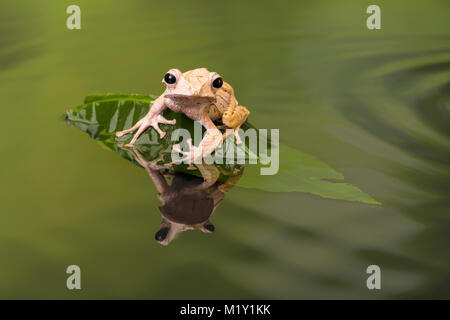 Borneo Eared Tree Frog sitting on a leaf in rippled water - Stock Photo