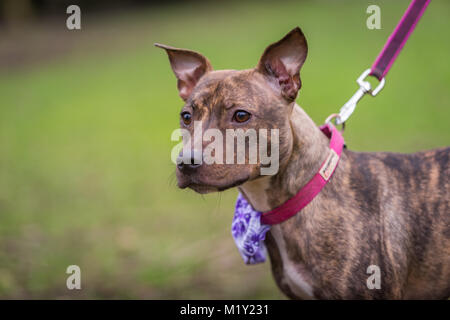 Young staffordshire bull terrier standing in the park on a lead - Stock Photo