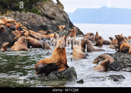 Steller Sea Lions resting in a rookery on Sail Island in Frederick Sound in the Inside Passage of Southeast Alaska. - Stock Photo