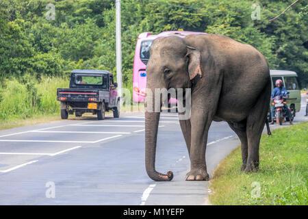 a wild elephant on the streets of Polonnaruwa, North Central Province, Sri Lanka, Asia - Stock Photo