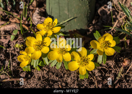 A group of six winter aconites (Eranthis hyemalis) with flowers fully open in fine winter afternoon sunshine - Stock Photo