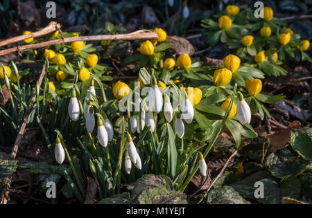A mixed group of Winter Aconites (Eranthis hyemalis) and Snowdrops (Galanthus) in fine winter sunshine - Stock Photo