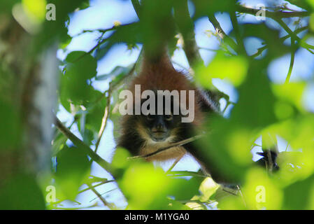 Wild female Geoffroy's Spider Monkey hanging from a branch in the rainforest in the Corcovado National Park on Costa - Stock Photo
