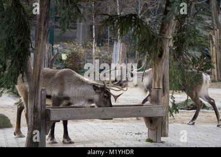 Reindeer feeding from a trough - Stock Photo