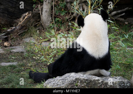 Giant panda from behind - Stock Photo