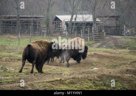 Large buffalo breathing out steam on a cold autumn morning at the animal park - Stock Photo
