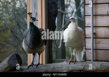 White and regular peafowls side by side - Stock Photo