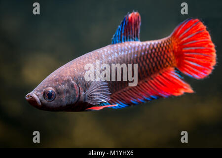 Red betta female - Stock Photo