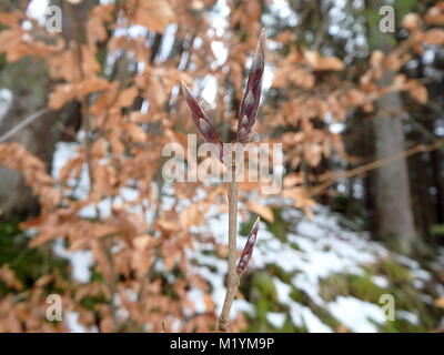 Close-up European beech or common beech twig and buds in winter,(Fagus sylvatica) - Stock Photo