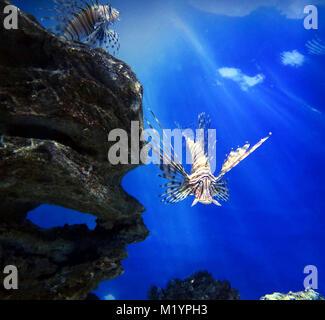Lion fish underwater - Stock Photo