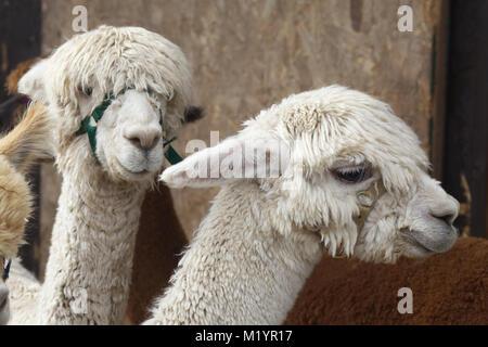 Alpaca's in captivity - Stock Photo