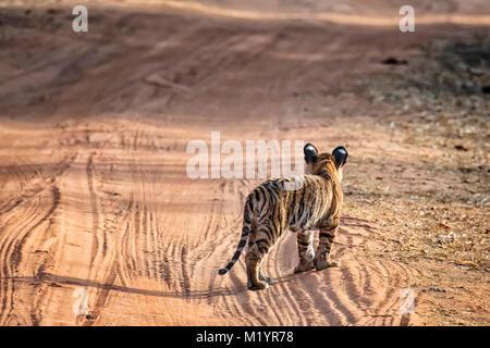 Little wild Bengal Tiger Cub, Panthera tigris tigris, standing in a road looking away, Bandhavgarh Tiger Reserve, - Stock Photo