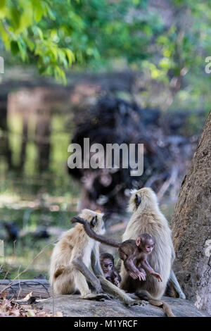 Family of wild Gray Langurs or Hanuman Langur Monkeys, Semnopithecus, parents and two babies, playing, jumping, - Stock Photo