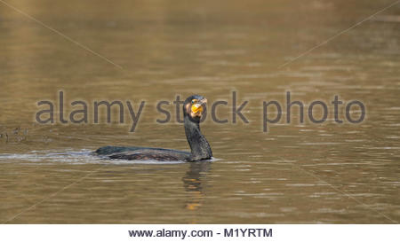 A cormorant sedately swims at Cannop Ponds in the Forest of Dean - Stock Photo