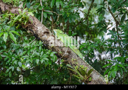 Plumed basilisk (Basiliscus plumifrons), also known as green basilisk, double crested basilisk, or Jesus Christ - Stock Photo