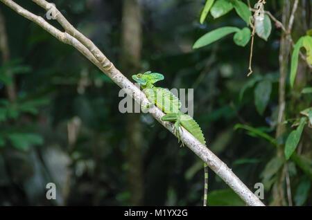 Male Plumed basilisk (Basiliscus plumifrons), also known as green basilisk, double crested basilisk, or Jesus Christ - Stock Photo