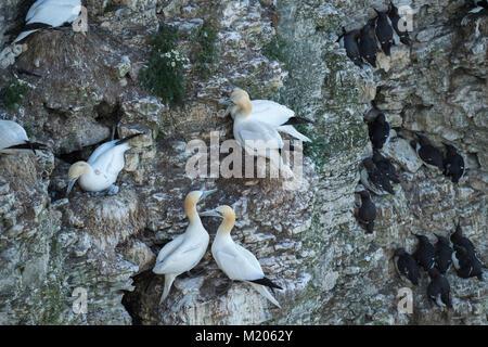 High view close-up of nesting seabirds (gannets & guillemots) on rocky chalk cliff-side nests - Bempton Cliffs RSPB - Stock Photo