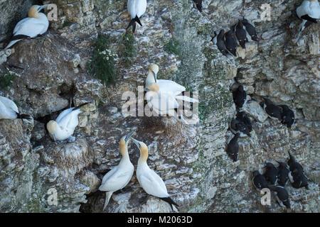 High view close-up of 3 different seabirds (gannets & guillemots) nesting on chalk cliff-side - Bempton Cliffs RSPB - Stock Photo