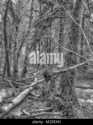 Monochrome long exposure photography of a wild untouched forest with fallen trees. moss,undergrowth,fern,grass and - Stock Photo