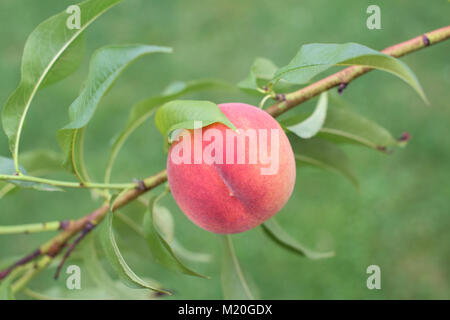 Ripe red Peach fruit on a branch - Stock Photo