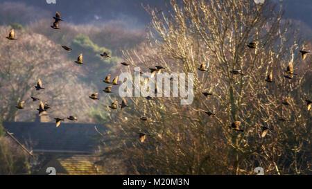 UK wildlife: Mixed flock of common starlings (Sturnus vulgaris) and fieldfares (Turdus pilaris) in flight, roaming - Stock Photo