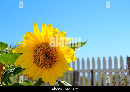 Single sunflower growing  in a white picket fence garden on a hillside overlooking the ocean - Stock Photo