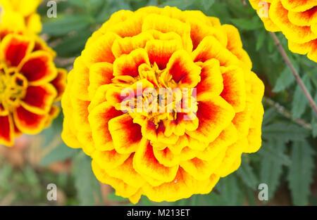 Orange yellow Marigold flowers in garden center view. Beautiful Marigold flowers for design. Marigold flowers background. - Stock Photo